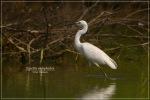 Kuntul Cina | Chinese Egret | Egretta eulophotes