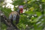 Ayam Hutan Hijau