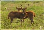 Baluran's Deer