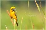 manyar-nesting-4