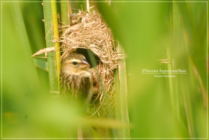 manyar-nesting