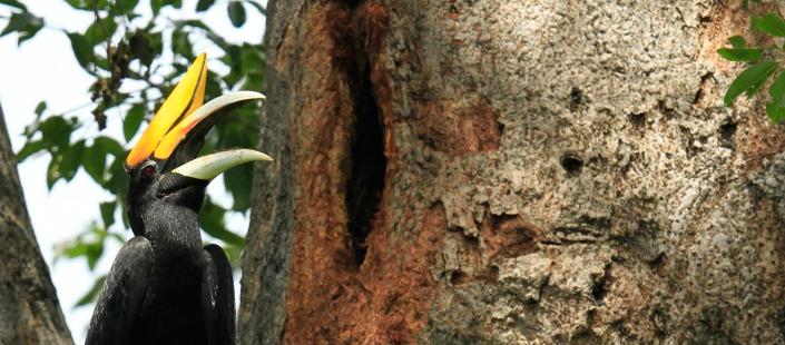 Rhinoceros Hornbill in front of his nest