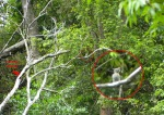 Pohon sarang, lobang, dan si betina yang sempat terekam oleh Nurdin.