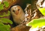 Serak Jawa ras endemik Sumba