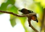 Sempur Hujan Rimba | Banded Broadbill | Eurylaimus javanicus