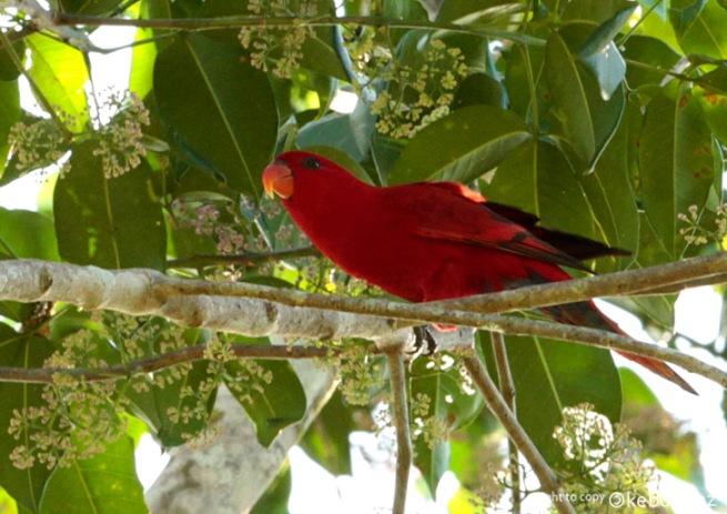 Nuri Maluku, si merah endemik pulau yang berisik sepanjang hari.