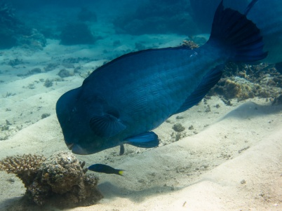 bumphead parrotfish - Bolbometopon muricatum