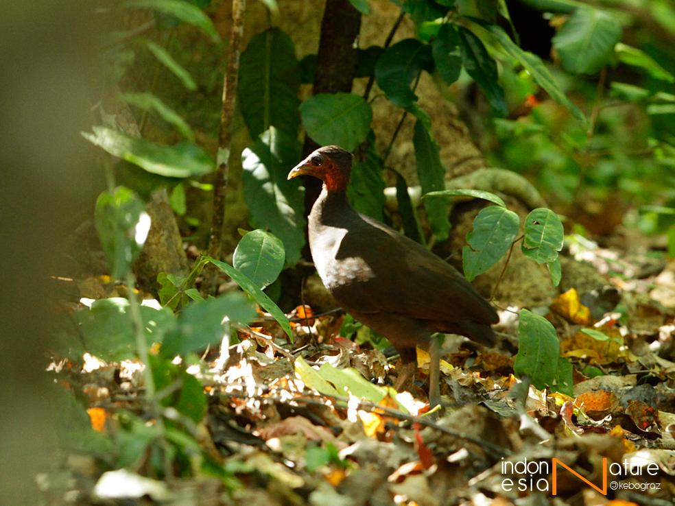 Megapodius freycinet, Gosong Kelam, Dusky Megapode