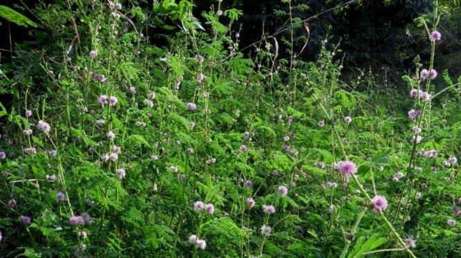 Tumbuhan setan. Genus: Mimosa, spesies: matane, sub-spesies: asu **dendam lahir batin